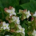 カシワバアジサイ 花の終わり