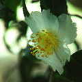 初冬咲き2