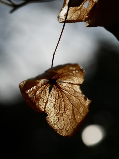 Photos: 冬紫陽花