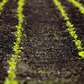 写真: 芽吹く畑