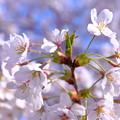 写真: 開花の頃