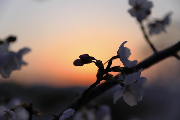 Photos: 春宵