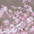 Photos: 桃開花