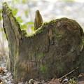 Photos: 森の切り株
