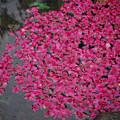 180316_横浜市中区・港の見える丘公園_ハナイカダ(花筏)<カンヒザクラ?>F180316G6042_MZD60M_X8Ss