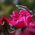 201012_平塚・花菜ガーデン_バラ_H201012F1111_MZD60M_FH_C-SG_FS3_X10Ss