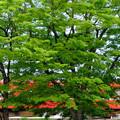 写真: 赤い薫風2