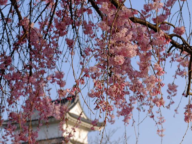 桜満開の宇都宮城址公園