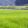 写真: 稲の波