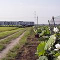 午後に咲く蓮の花は