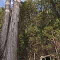 Photos: 巨木に見下ろされ