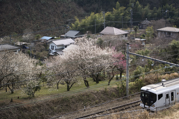 山麓に咲く梅の花