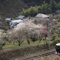 Photos: 山麓に咲く梅の花