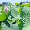 写真: 蓮根畑