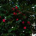 写真: 赤色 椿