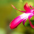 写真: シャコバサボテンの蕾