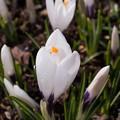 Photos: 我が家の春一番