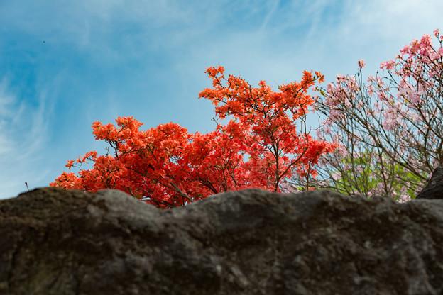 写真: 岩場に咲くツツジ