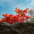 岩場に咲くツツジ