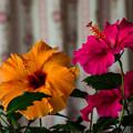 写真: オレンジ&ピンク