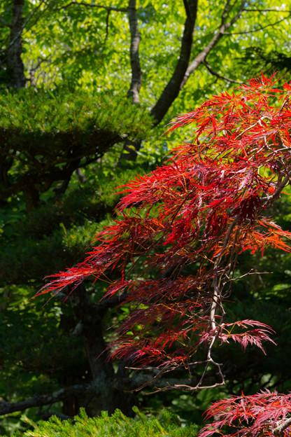 ー真夏の紅葉ー