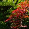 写真: ー真夏の紅葉ー
