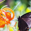 写真: ーユリと蝶-