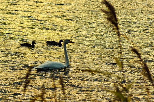 ー白鳥の湖ー