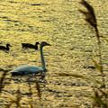 写真: ー白鳥の湖ー