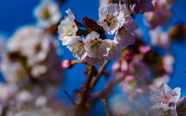 Photos: ー遅咲きの桜II-