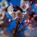 ー遅咲きの桜II-
