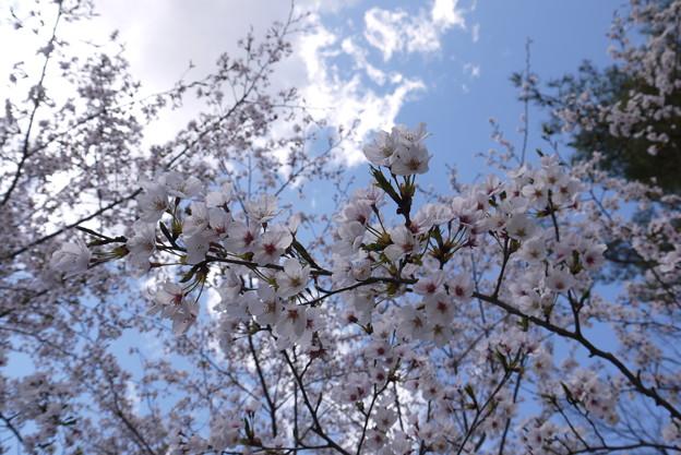 桜と青空 2019