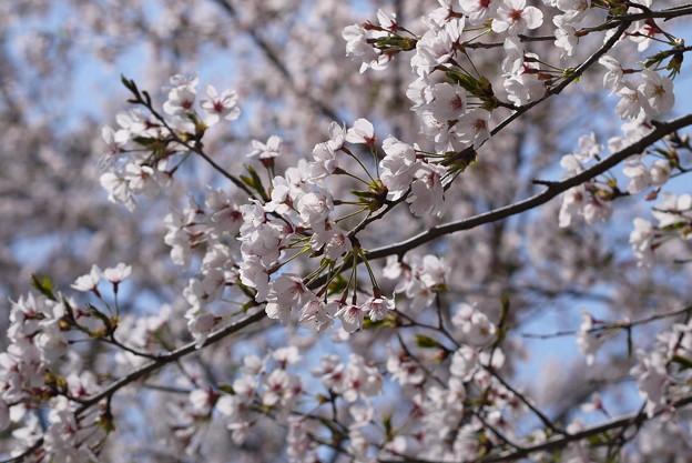 桜と青空 2019-2