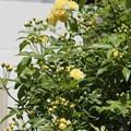 モッコウバラが咲き始めました