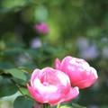 写真: ピンクピンクピンク
