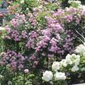 上から眺める薔薇の庭