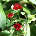 名もない小さなバラ
