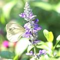 写真: サルビアの咲く庭で