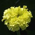 写真: マリーゴールドが咲き始めました。