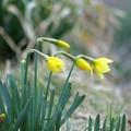 写真: 水仙の季節