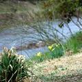 水仙の咲く散歩道