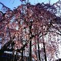 高楽寺の垂れ桜は見頃です