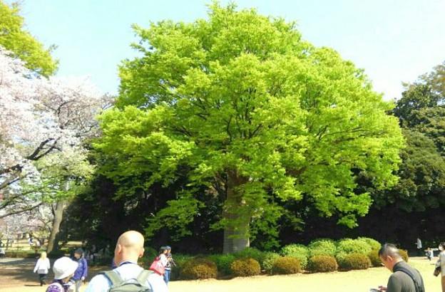 新宿御苑の巨木