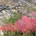 桃と桜の並木道