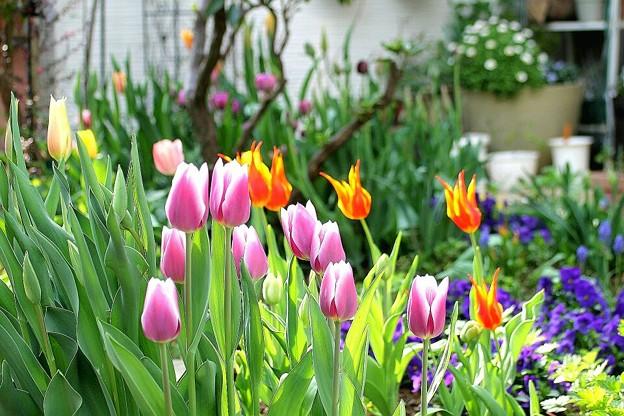 写真: チューリップの花壇