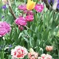 写真: 庭のチューリップ