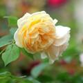 写真: 薔薇色々 1
