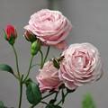 写真: 薔薇色々 2