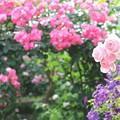 写真: 薔薇色々4