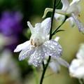 雨の日のチドリソウ